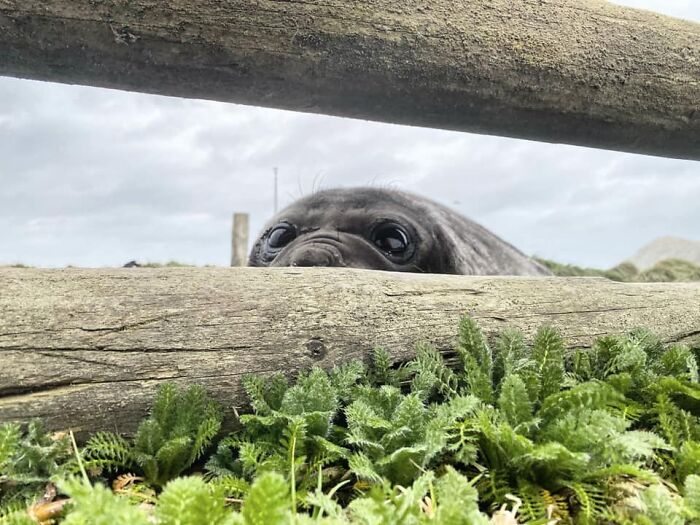Not A Penguin This Time At The Fence... But Equally Cute. Curious Elephant Seal Pup
