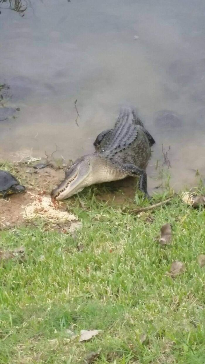 Just An Alligator And Turtle Eating Spaghetti Together. Yes They Had A Lady And The Tramp Moment. Mont Belvieu Texas