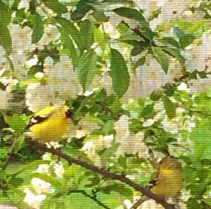 The Time I Took A Picture Of Two American Goldfinches Through A Window Screen And It Came Out Looking Like A Cross Stitch