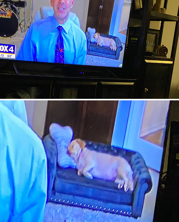 The Weatherman Had A Dog On A Small Dog Couch In A Background