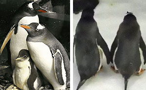 Incredibly Caring Gay Penguin Couple Hatch A Second Neglected Egg After The Zookeepers Notice Them Trying To Hatch A Rock