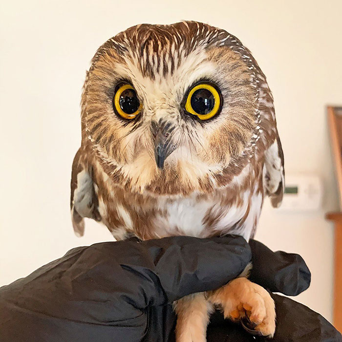 A Rare Holiday Story – Workers Rescue A Tiny Owl That Accidentally Traveled 170 Miles To NYC Inside The Rockefeller Christmas Tree 3