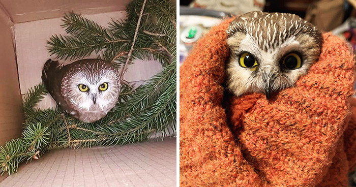 Workers Who Transported This Year's Rockefeller Christmas Tree Found A Tiny Owl Tucked Inside It