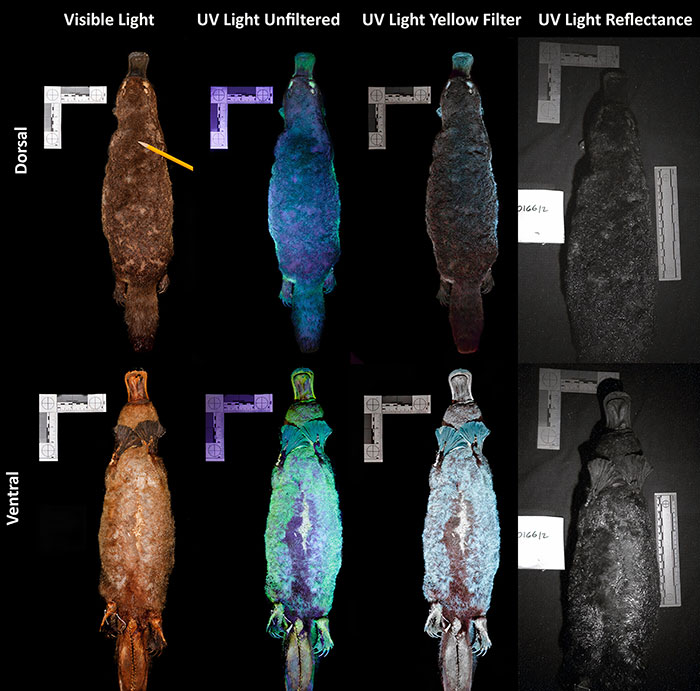 Scientists Just Realized That Platypuses Glow Under A UV Light, Further Adding To The Bizarreness Of The Animal 2