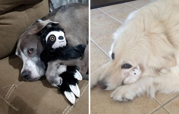 La gente comparte foto con sus mascotas que no se separan de sus juguetes favoritos, y es muy puro (40 fotos)