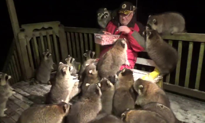 Every Night, This Man Feeds Hot Dogs To This Pack Of Raccoons As Per His Late Wife's Wish