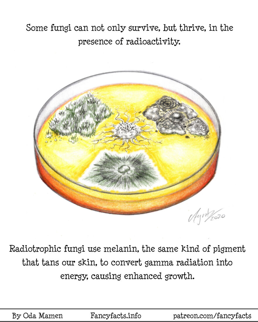 Radiotrophic Fungi