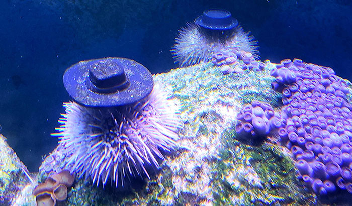 Turns Out, Sea Urchins Like To Use Shells As Hats, So People 3D-Print Them Some Cool Ones