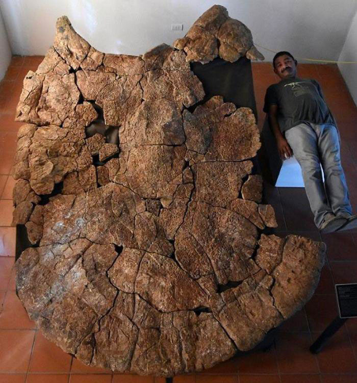 This Massive 8-Million-Year-Old Turtle Shell Fossil That's The Size Of A Car—Also, It Was A Species Of Battle Turtles!