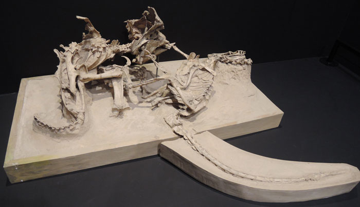 A Velociraptor And A Protoceratops Fossilized Mid-Battle