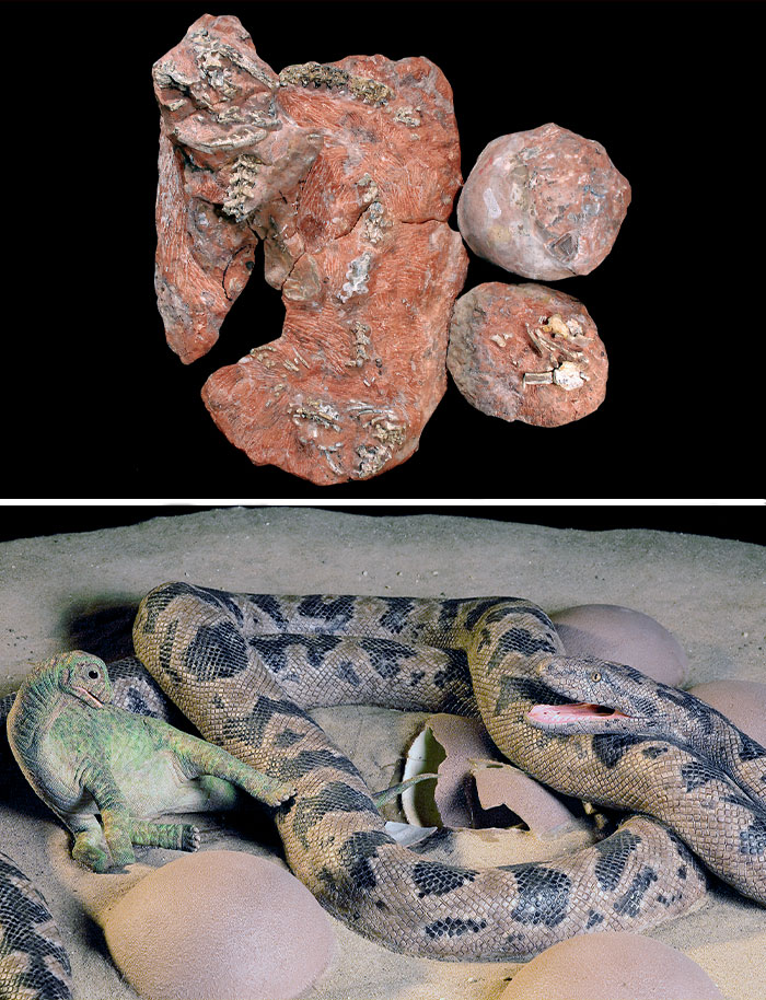 A Fossil Of A Prehistoric 68-Million-Year-Old Snake Curled Around Eggs And A Baby Dinosaur, Ready To Eat It (Fossil Top, Recreation Bottom)