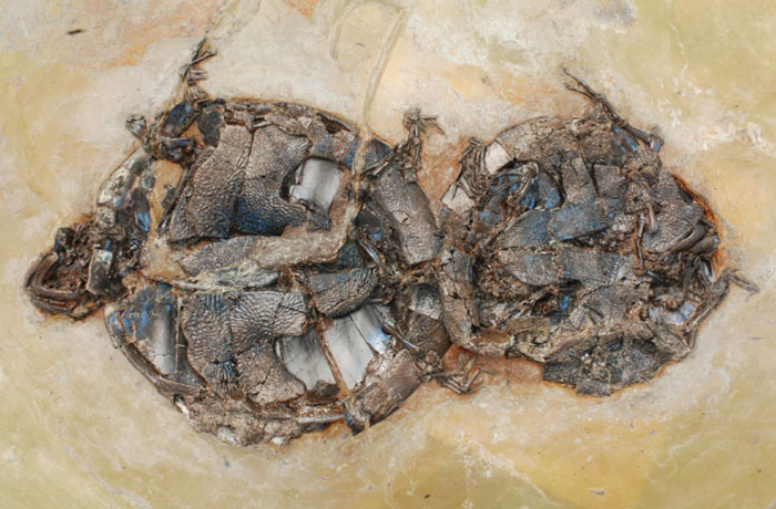 This 47-Million-Year-Old Fossil Of Two Turtles 'Caught In The Act,' And The First Of Its Kind
