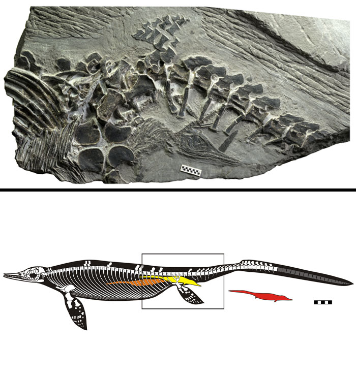 A 248-Million-Year-Old Fossil Of A Chaohusaurus Mother Giving Birth