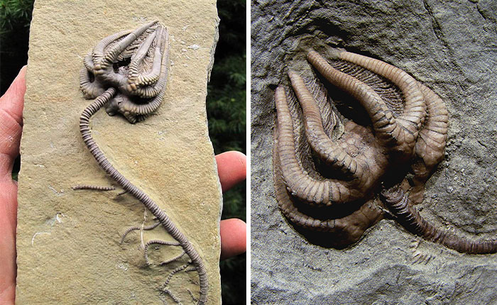Fossilized Crinoids That Ended Up Being The Inspiration For The Monsters Featured In The Horror Movie 'Alien'