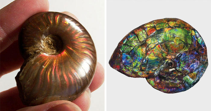 These Extinct Mollusks—Ammonites, Which Became Iridescent During Their Fossilization Process