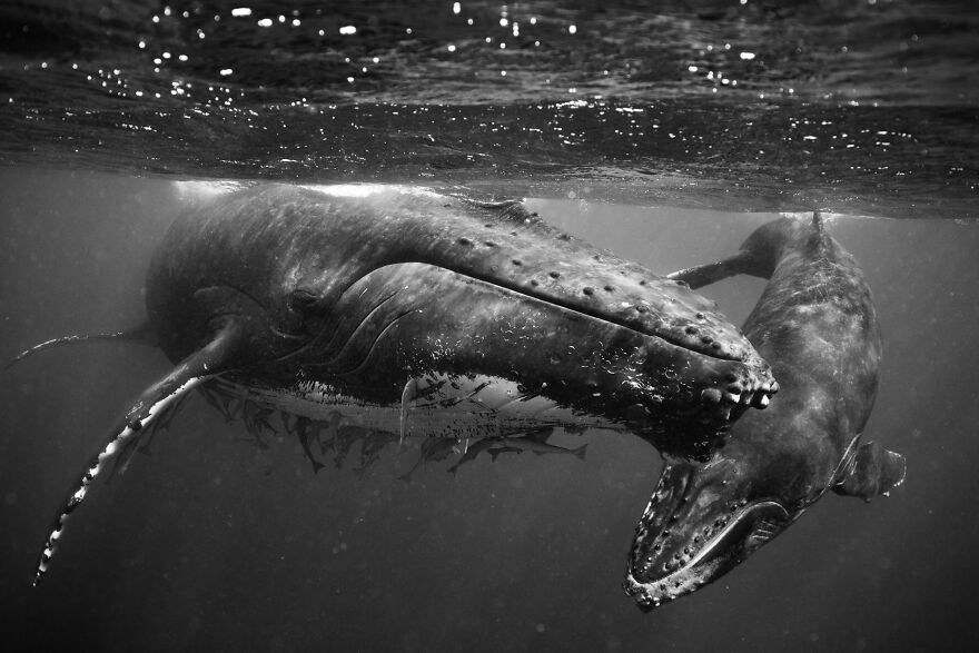 Whales-Photography-Giants-Book-Jem-Cresswell