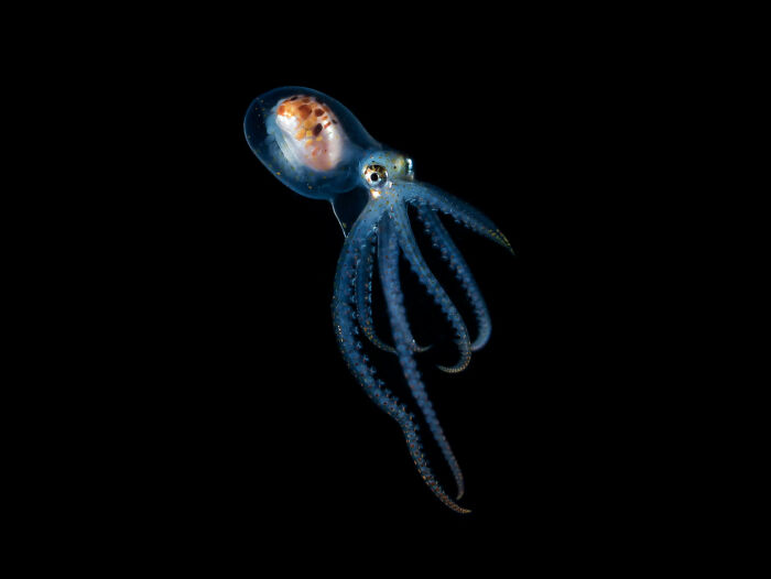 Blackwater Photographer Captures A Young Octopus With A Transparent Head, And You Can Even See Its Brain
