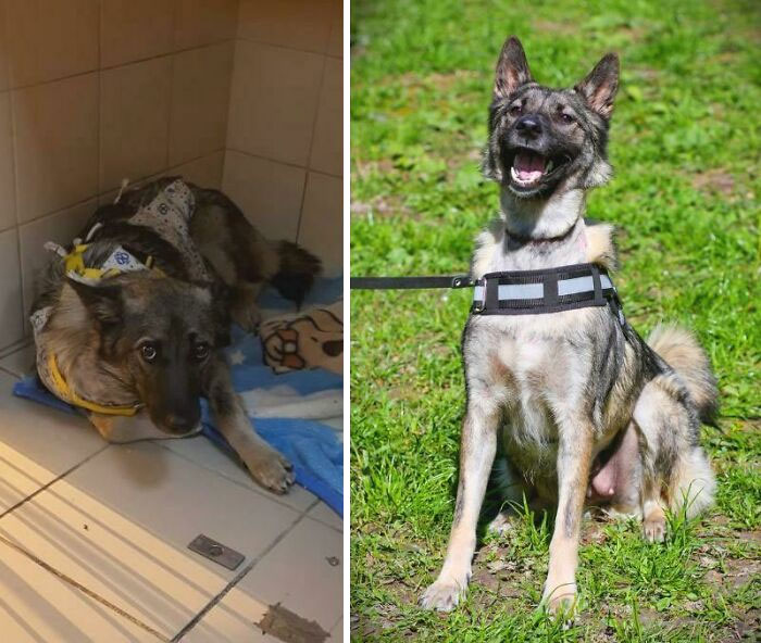 Mary, The Dog Rescued From The Street With A Collar Ingrown To Her Trachea. Before And After In 2 Months