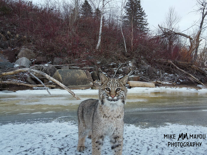 """""""I was about to leave, but I spotted something crossing the ice"""": Photographer's Drone Captures 3 Adorably Comfy Wild Bobcats Chilling"""