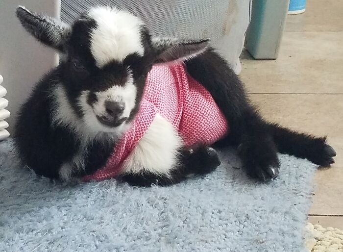 The Cutest Picture Of My Tiny Baby House Goat, Tay