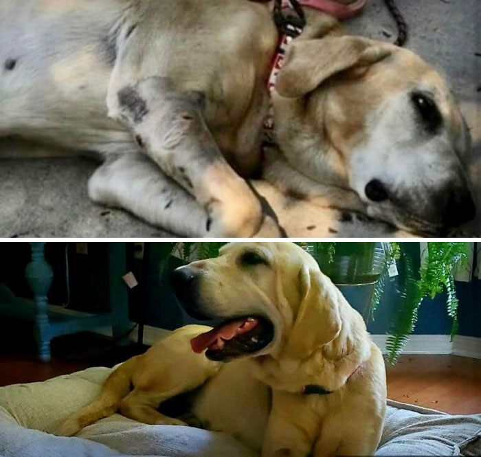 My Friend Adopted A Senior Dog That Had Been Shot In The Leg And Left To Die. These Pictures Are A Day Apart