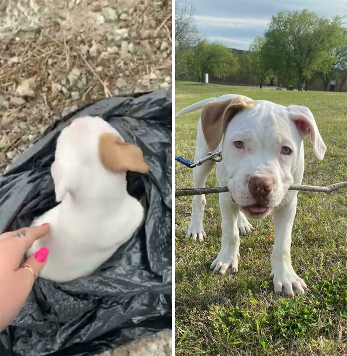 Patron Was Found Discarded In A Trash Bag On The Side Of The Highway At 4 Weeks Old. 8 Weeks Later, He's A Very Happy Boy And We Couldn't Love Him More!