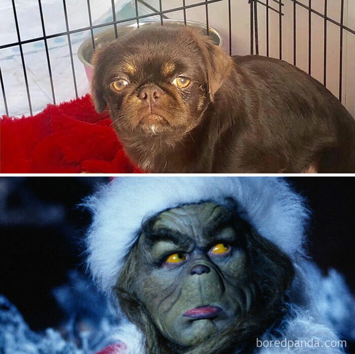 He's A Rescue And When We Had His Dna Done, Were Astounded He Wasn't Part Pug Part Grinch