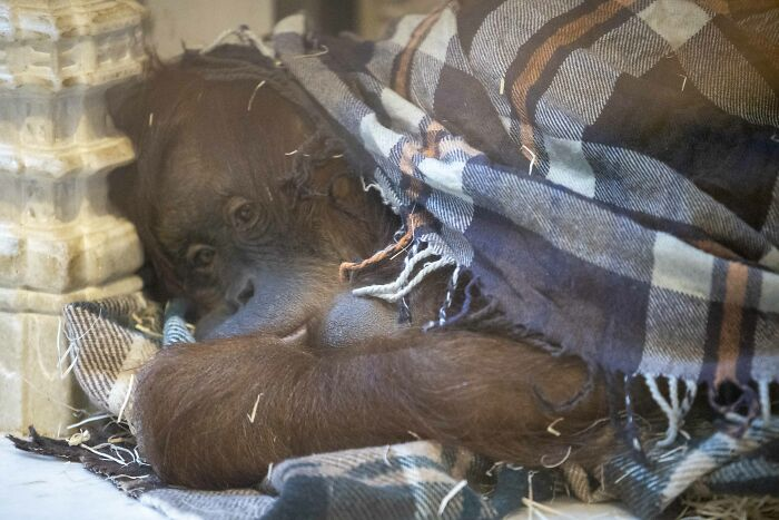 Belgian Zoo Welcomes A New child Orangutan From A Critically Endangered Species