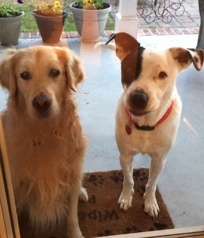 Mi perro trajo a casa un amigo. Resulta que es el Golden de mi vecino que ha estado perdido durante 2 semanas
