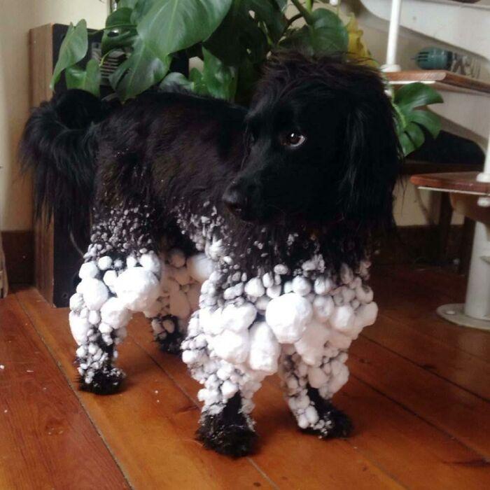 Tras un paseo por la nieve, podría desfilar como modelo