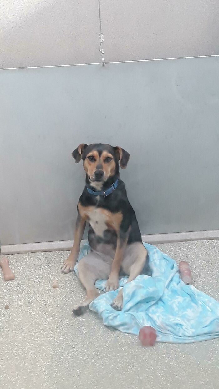 """Right Now, I'm Looking For A Dog To Adopt. I Gave This Little Guy The """"Sit"""" Command And He Sat Down Like This. I Think I Just Found My New Dog"""