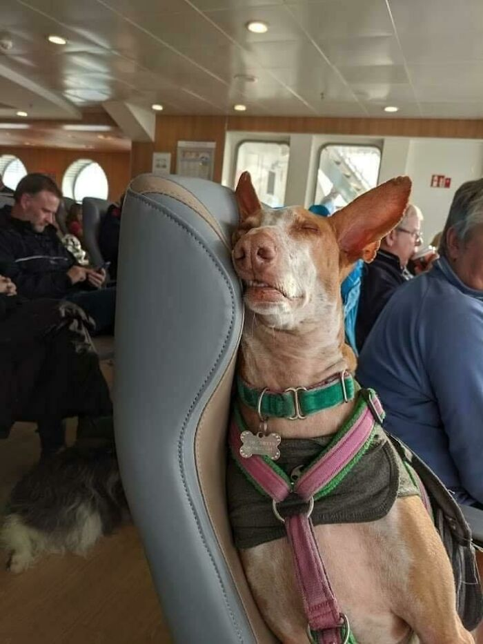 Rescue Dog Travelling To Forever Home Gets His Own Seat On Ferry