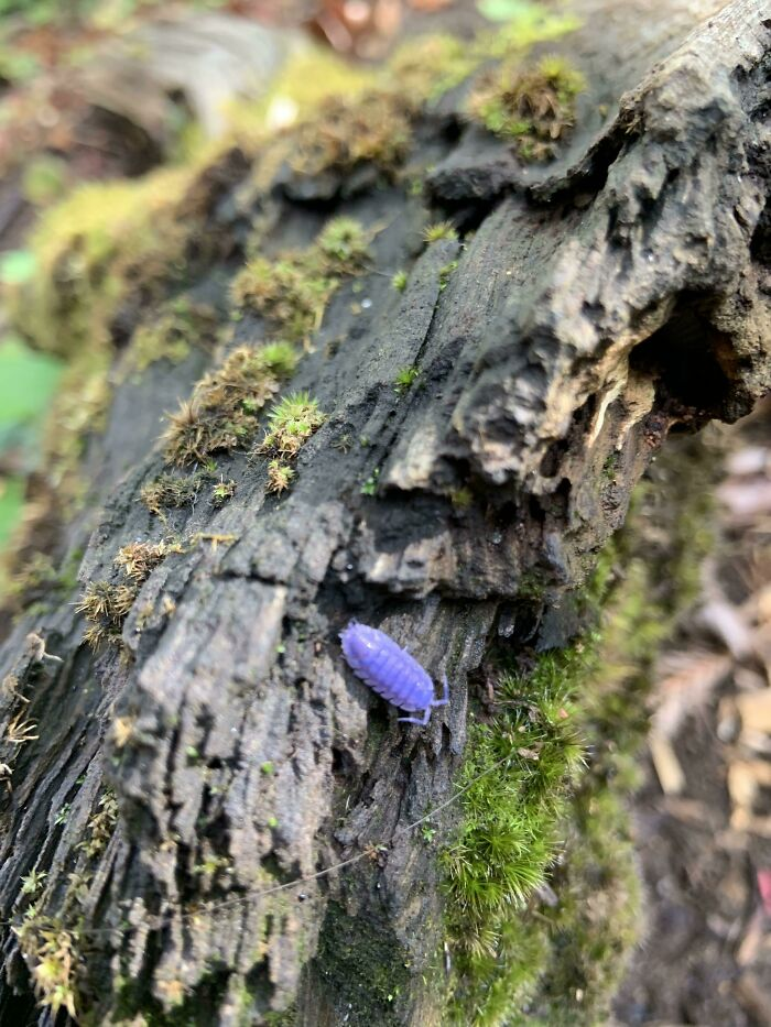 This Purple Roly Poly I Found Today