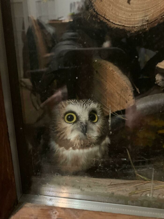 My Mom Found A Baby Owl On The Porch Behind The Firewood