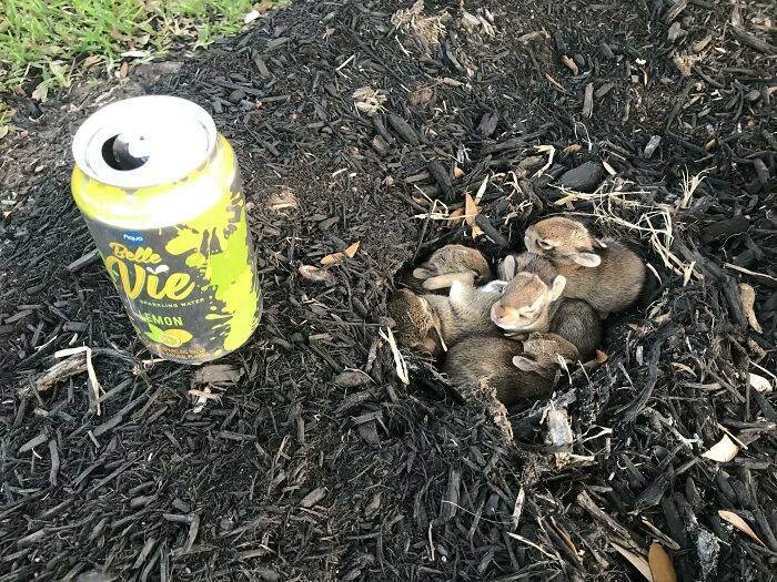 Group Of Baby Easter Bunnies I Found While Walking My Dog On Easter Sunday (Can For Reference)