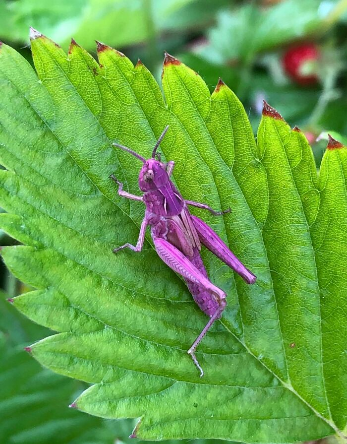 A Purple Grasshopper Found In My Garden