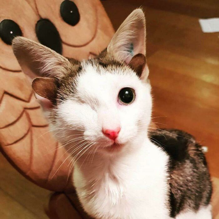 Frankie Was Born With Four Ears And An Eye Deformity But He's Still Purrfect