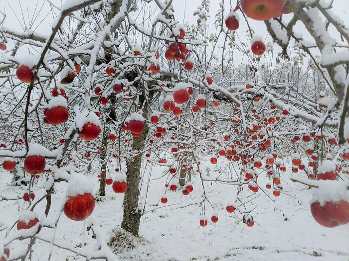 Apple Orchard After A Snowfall