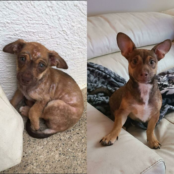 I Adopted This Baby From The Dominican Republic 1 Month Ago- My Mom Didn't Believe Me That It Was The Same Dog. I Named Him Remi And He Suffered From Mange And Malnutrition, Not Anymore!