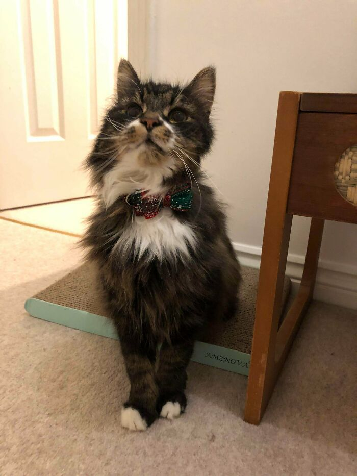 Exactly A Month Ago He Was A 'Feral' Cat Suffering From Multiple Infections. Today He's My Little Old Gentleman In A Christmas Bow Tie. Merry Christmas And Happy Adoption, Gizmo!
