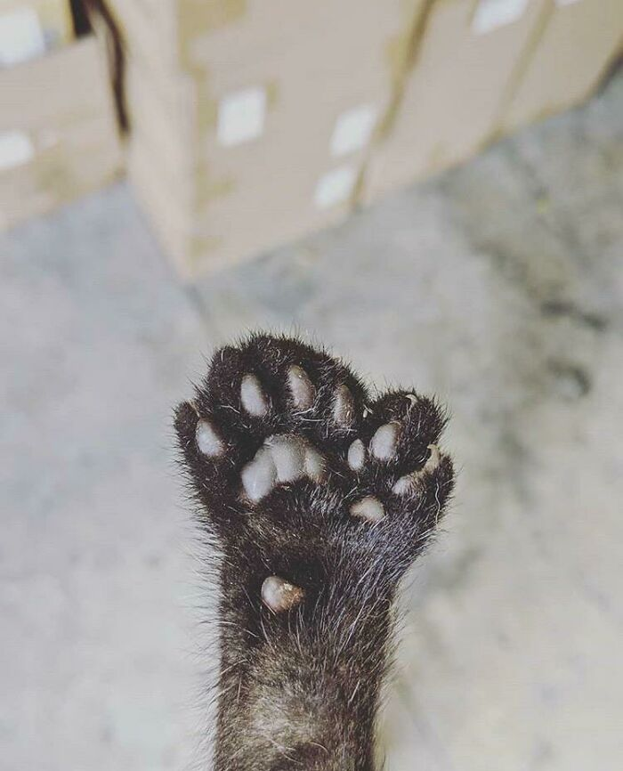 The Cat At Our Warehouse Gave Birth To A Kitten Who Has An Extra Tiny Paw That Functions As A Thumb