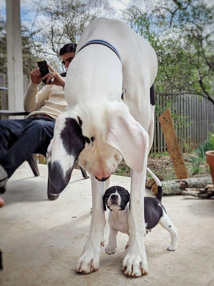 La Vaca De La Casa Grande Se Encuentra Con La Vaca De La Casa Pequeña