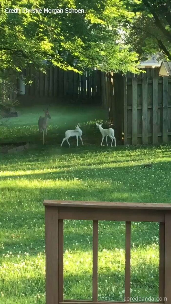 This Mother Deer Has Two Albino Fawns...