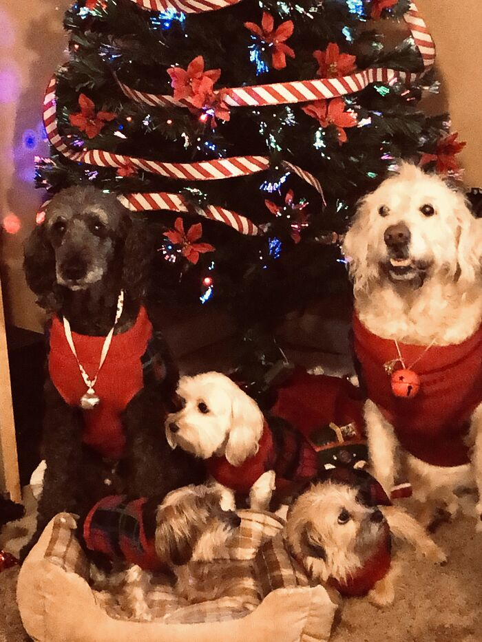 Christmas Miracle Picture. My Three And Two Grand Dogs