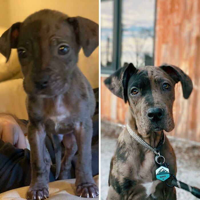 Harvey Was Born The Runt Of A 12 Puppy Litter. The First Picture Is His First Day With Us At 3.5 Pounds And Lots Of Health Issues. He's Now 32 Pounds And Getting Quite Handsome!