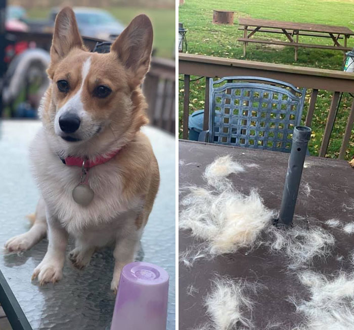 People On Facebook Are Sharing Funny Pics Of How Much Their Dogs Shed (23 Pics)