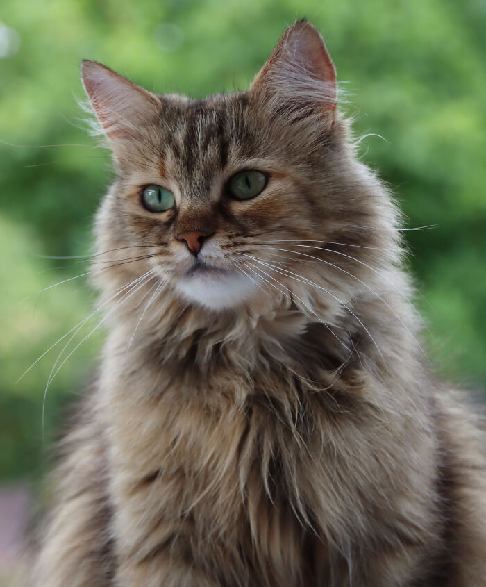 May I Introduce Mia, The Beautiful Siberian Forest Cat My Parents Got As A Rescue: