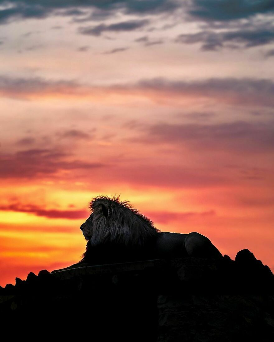 Wildlife-Photography-Lions-Simon-Needham