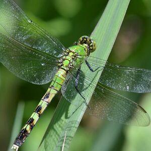 DragonflyGreen