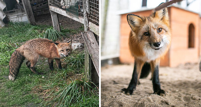 Fox Escapes From Her Cage In A Fur Farm, Gets Spotted By Activists And Rescued